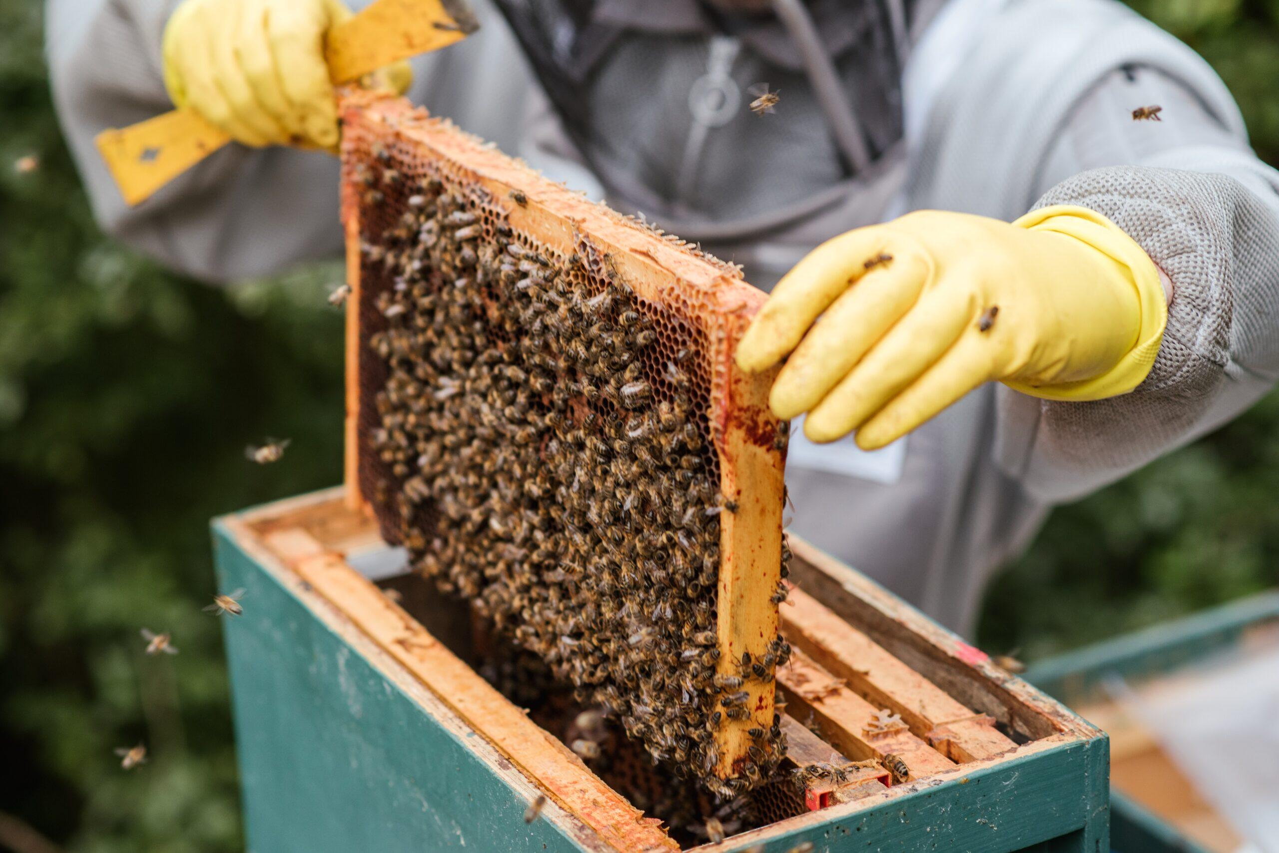 Apiculteur en action, entrain d'enlever délicatement un cadre de la ruche